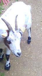 chèvre du moulin a tan